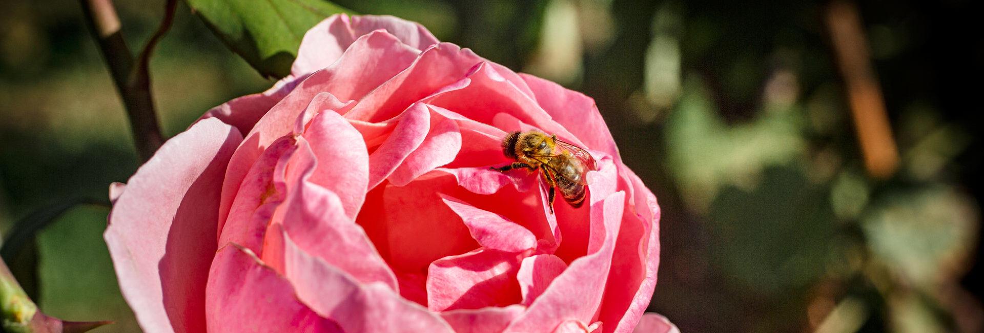 Ape posata sulla rosa