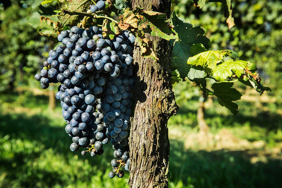 Coltivazione bio delle uve nere all'Azienda Agricola Le Baite